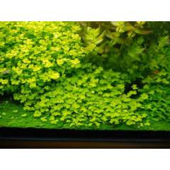 Hydrocotyle tripartita Sp Japan 1 ba� ** Yeni Se