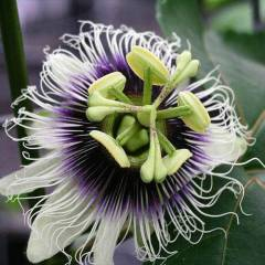 PASSIFLORA PURPLE GIANT Sarma��k Tohumu 3+