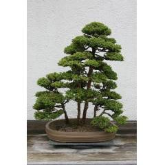 CRYPTOMERIA JAPONICA- JAPON SED�R A�ACI- BONSAI