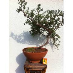 Utah Juniper  Amerikan �am� bonsai 6 y�ll�k