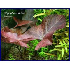 Nymphaea Rubra Bulb 1 SO�AN *YEN� SEZON**