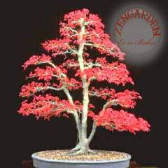 10 acer bloodgood tohumu maple bonsai nadir *913