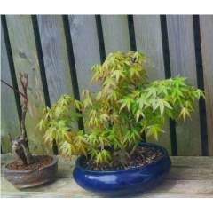 Ak�aa�a� Bonsai - Acer Palmatum Bonsai 1