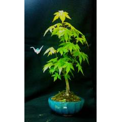 Ak�aa�a� Mini Bonsai - Acer Palmatum Bonsai
