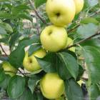 Elma (Golden Delicious) Fidan� 130-150 cm