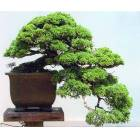 ��N ARDI� A�ACI- JUNIPERUS CHINENSIS-BONSAI