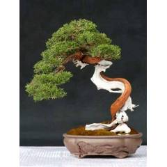 Taxus baccata tohumu english yew bonsai *163 zen