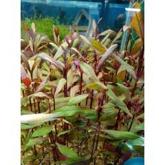 Alternanthera Sessilis 1 K�K - KAMPANYA !!