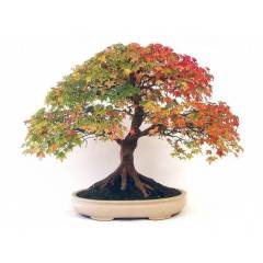 Canadian Maple Tree Bonsai Yeti�tirme Seti