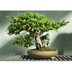 Kokulu Laurus Nobilis Bonsai Filizi