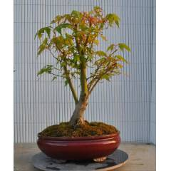 Ak�aa�a� Bonsai - Acer Palmatum Bonsai