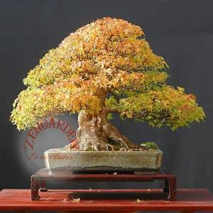 10 acer buergeranum tohumu maple bonsai *173 Zen