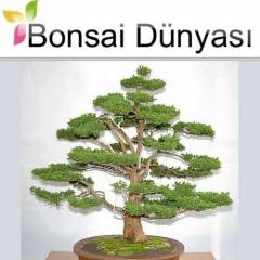 Japon Sugi Bonsai  3+ Ya��nda