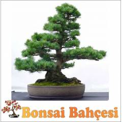Bonsai Kara�am A�ac� Yeti�tirme Seti