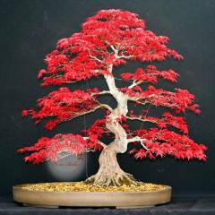 Deshojo ak�aa�a� tohumu acer maple bonsai *164