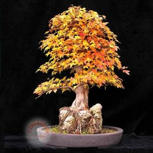 Acer ginnala tohumu amur maple bonsai  *162  zen