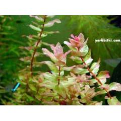 Rotala mac.green 1 lira