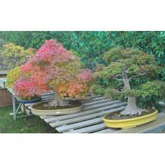Japon Ak�aa�ac�  Bonsai