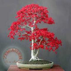 +10 acer rubrum k�rm�z� tohumu maple bonsai *169