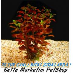 Ludwigia Repens Super Red ** STOKLARDA !!