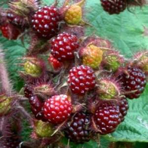 Japon wineberry Fidan�-�ok Nadir,