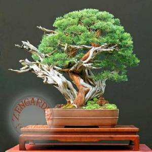 Juniperus chinensis tohumu bonsai �in ard�� *914
