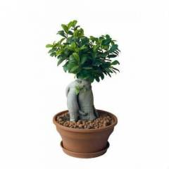 Bonsai, Ginseng Bonsai, Saksıda