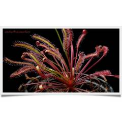 Etobur Bitki Drosera Capensis All Red 30 Tohum