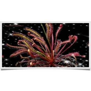 Etobur Bitki Drosera Capensis All Red Haz�r Kit