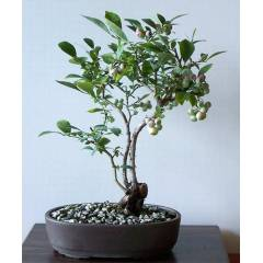 BLUEBERRY BONSAİ AĞACI 10+ TOHUM  tohhum_gg